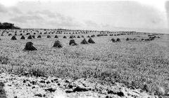 Field of Stooks  Dawson Creek area, B.C. 1940's - 1950's