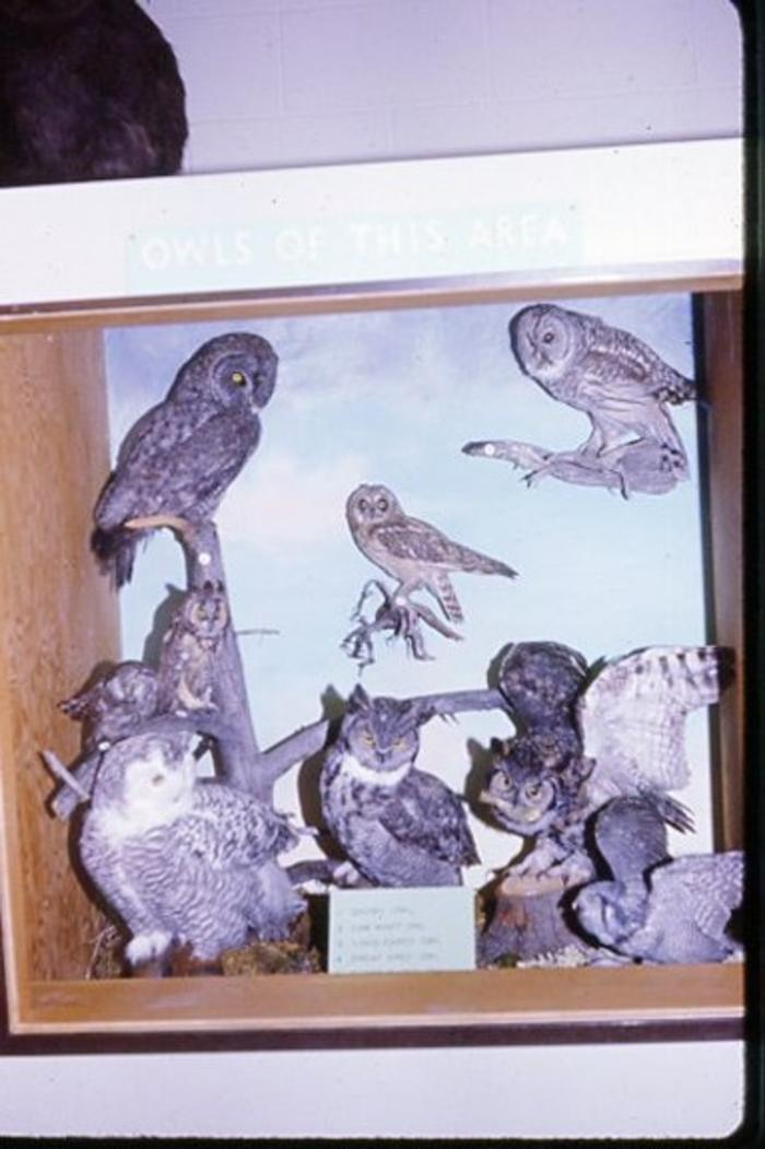 Dawson Creek Museum, Peace River owls (Stuffed), 1967