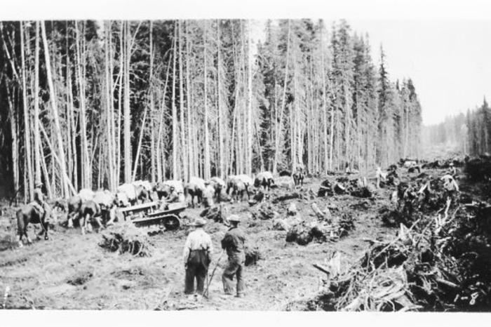 Clearing for the Alcan, summer of 1942. Note the pack-horses and mules, the only method of transporting supplies before the road was pushed through.