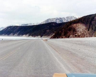 Alaska Highway Trip, beginning of Muncho Lake, Stone Sheep